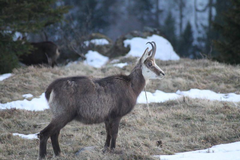 chamois dans les Vosges